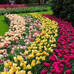 Masses of tulips.