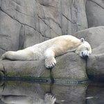 Træt isbjørn