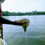 Our boat driver Murugan caught a Jellyfish to show us the size in the Kerala Backwaters
