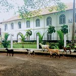 Some goats making their way through Fort Kochi
