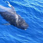 A pilot whale a few meters from the boat (picture taken by Eileen)