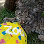Bobcat - Animal Ambassador