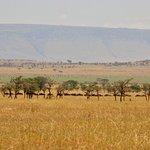 Line of wildebeest near the camp.
