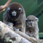 Bolivian gray titi monkey inside Rainforests, Rivers & Reefs
