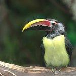 Green aracari inside Rainforests, Rivers & Reefs
