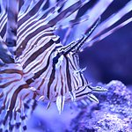 Lionfish inside Rainforests, Rivers & Reefs