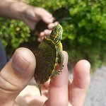 A little turtle from the pond