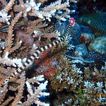 banded pipe fish