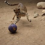 Enrichment - such an important part of an animals daily life at Cango Wildlife Ranch