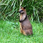 Curious Wallaby