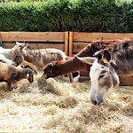 Chèvre, lama, poney.