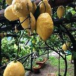 Amalfi Lemon Experience Resmi