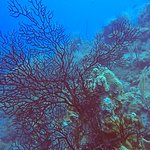 Oasis Divers, Grand Turk...healthy reefs