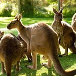 Meet Kangaroos on the way to Yarra Valley with Epicurean Food and Wine Tours