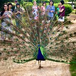 The peacocks liked to show off!