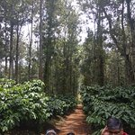 Coffee and Pepper Plantation