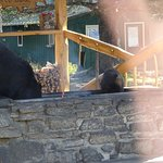 Mama bear with baby helping themselves to salmon scraps in the outdoor grill