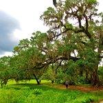Magnolia Plantation Oak Treet