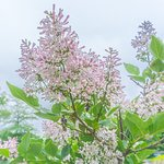 Ethereal Lilacs