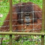 Bild från Orang Utan Island