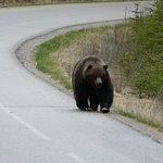 We were the only car on the road and we met this Grizzly walking towards us.Thrilling!
