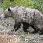 This grizzly walked along side our car as we drove slowly