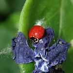 a native ladybird (Cycloneda sp)