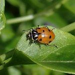a native ladybird (Hippodamia convergens)