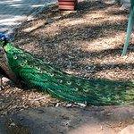 wondering peacocks