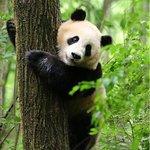ภาพถ่ายของ Giant Panda Breeding Research Base (Xiongmao Jidi)