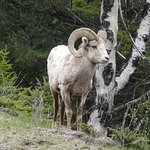 Big Horn sheep at the side of the road