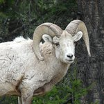 Big Horn sheep (head Butters dont aggitate them near your car)
