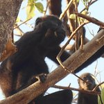 Found a troop of Howler Monkeys 5 minutes down the beach