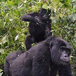 Mountain gorillas care alot about the infant babies