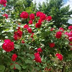 Roses in bloom, sun terrace