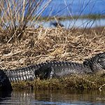 Outstanding Wildlife To See. An American Alligator Located On The St Johns River East Of Orlando