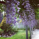 Wisteria on the guest terrace