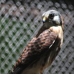Foto di Carolina Raptor Center