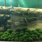 Marimo, round shaped algae grown under the Lake Akan