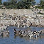 Zebras am Waserloch