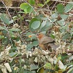 Rusty Cheecked Scmitar Babbler in their very own premises