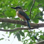 Wildlife not in captivity that lives around the area, a Motmot