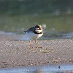 Early morning light is awesome...semipalmated plover