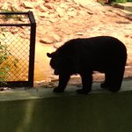 wild bear without cage