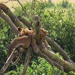 Tree climbing lions in Queen Elisabeth Park