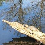 Turtles sunning on log