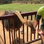 Feeding an Emu