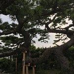 Photo of Shoryu no Matsu (Pine tree)