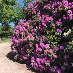 Rhododendron i full blomning.
