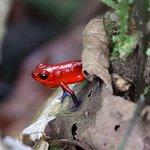 Strawberry Poison Dart Frog on trail